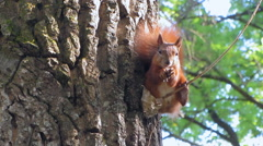 Squirrel gnaws nuts on a tree Stock Footage