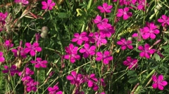 Pink flower heads of Charterhouse pink, Dianthus carthusianorum - high angle Stock Footage