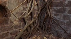 Roots growing trough Yashwantgad Fort Stock Footage