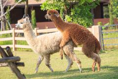 Brown and light brown llama alpacas mating in ranch farm field Kuvituskuvat