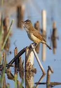 great reed warbler - stock photo