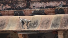 Monkeys playing at Virupaksha Temple Stock Footage