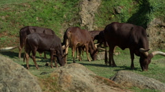 Watusis cattle african safari animal mammal nature, environment zoo Stock Footage