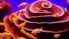 Lively underwater coral  reef colony scene-time lapse Stock Footage