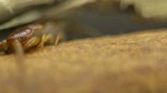 Stock Video Footage of Macro shot of centipede head under a twig