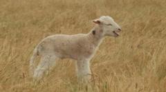 Cute Newborn Lamb Bleating Stock Footage
