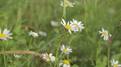 White flowers - close up Stock Footage