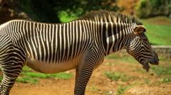 Zebra grevy mammel wild safari nature environment Stock Footage