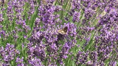 Silver Y (Autographa gamma) moths taking nectar from Lavandula - medium shot Stock Footage