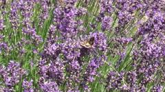 Silver Y (Autographa gamma) moths taking nectar from Lavandula - medium shot - stock footage