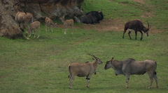 Wildebeest wild animal nature species Stock Footage
