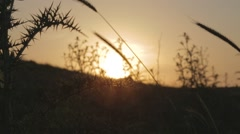 Silhouette of thistle moving at the wind at sunset Stock Footage