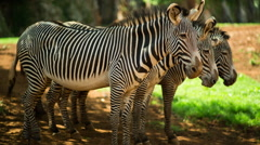 Zebra grevy mammel wild safari nature environment Stock Footage