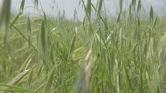 Black insect walking on tall grass Stock Footage