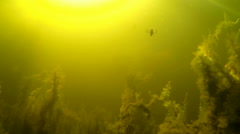 Diving insect in a pond with dense moss vegetation Stock Footage