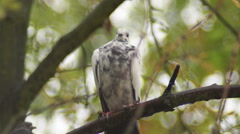 Dove on a branch, rain Stock Footage