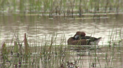 Birds Ferruginous ducks swimming in shallow lake and looking for food. Stock Footage