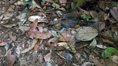 Swarming black ants in the leaf litter of tropical rainforest Stock Footage