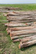 Stock Photo of eucalyptus tree, pile of wood logs ready for industry