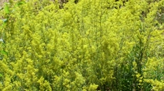 Flowers of Galium verum, Yellow Bedstraw in summer breeze - full screen Stock Footage