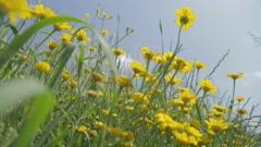 Yellow Chrysanthemums - stock footage