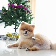 Pomeranian dog cute pet in home with christmas tree decoration Stock Photos