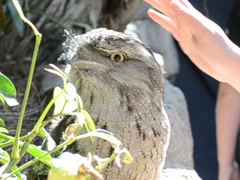 Tawny Frogmouth. Related clips are in my portfolio in 1920x1080. Stock Footage
