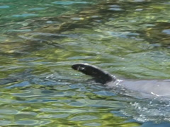 Bathing with dolphins. Related clips are in my portfolio in 1920x1080. Stock Footage