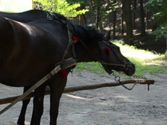 Horses in a team. Related clips are in my portfolio in 1920x1080. Stock Footage