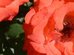 Red roses. Related clips are in my portfolio in 1920x1080. Stock Footage