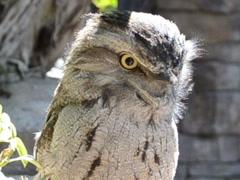 Ridiculous owlet.  Tawny Frogmouth (Podargus strigoides). Stock Footage