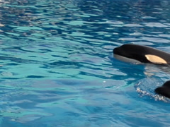 Killer whales in the pool. Related clips are in my portfolio in 1920x1080. Stock Footage