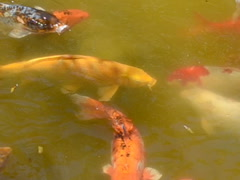 Fishes and turtles. Related clips are in my portfolio in 1920x1080. Stock Footage