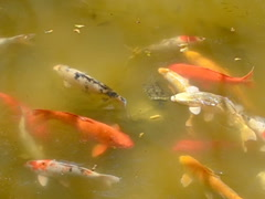 Japanese garden. Related clips are in my portfolio in 1920x1080. Stock Footage