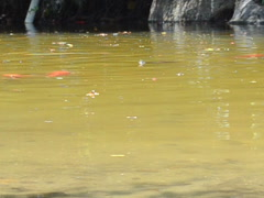 Fishes in a pond. Related clips are in my portfolio in 1920x1080. Stock Footage