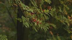 Mountain ash, rain Stock Footage