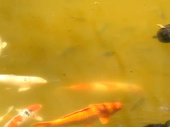 Gold fishes. Related clips are in my portfolio in 1920x1080. Stock Footage