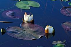 Stock Photo of nymphaea alba (water lily)