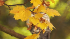 Dove on a branch, maple leaves Stock Footage