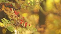 Autumn,  mountain ash Stock Footage