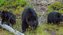 Bear cubs canada Stock Footage