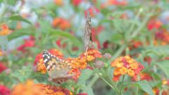 Two butterflies on flowers Stock Footage
