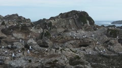 Sea gull colony pan Stock Footage