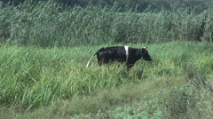Black cattle in nature, bovine eating green fresh grass, countryside cow outdoor Stock Footage