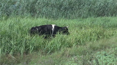 Wild nature background, single cow eating green grass, reed, cattle habitat  Stock Footage
