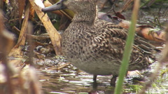 Birds duck Eurasian Teal feeding in winter lake Stock Footage