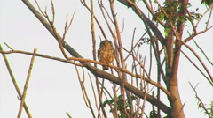 Bird Little owl (Athene noctua) landed on a tree in front of the nest Stock Footage