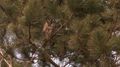 Bird Long-eared Owl (Asio otus) landed on a pine tree in the forest Stock Footage