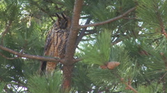 Bird Long-eared Owl (Asio otus) landed on a pine tree in the forest Arkistovideo