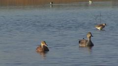 Birds ducks Gadwall swimming in the lake Stock Footage